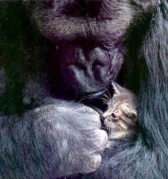 koko and her kitten - I saw their story on PBS several years ago and I fell in love with Koko.  She changed my whole view of what gorillas are like--an amazing story.