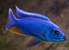 Sciaenochromis fryeri, aka Electric Blue Ahli Cichlid and is also a Haplochromis. They are an essential to any larger African Cichlid aquariums. I too got these from a buddy of mine. I got them as fry and kept the best male & 3 females. Malawi Cichlids, African Cichlids, Electric Blue Cichlid, Cichlid Aquarium, Tropical Fish Aquarium, Wale, Underwater Creatures, Little Fish, Mundo Animal