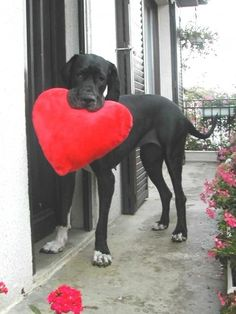great dane. love the picture with heart to frame. black and white. color pop