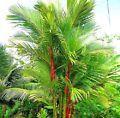 10 Lipstick Palm Seeds Cyrtostachys r...