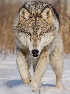 "wildlife: ""Wolf by © cjm_photography """