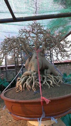 Most of these adenium shots I'm putting into my 'Adeniums I Love' folder but here's another VERY impressive arabicum grown in Thailand. This is a huge plant with amazing branch and root structure. I love how the roots are not spaced too symmetrically as that makes things look too artificial to me. With small flowers and fine branching, this is a stunning tree. Look in my other folder for another shot of this tree with the grower, Un Cledeer. (Look him up on Facebook) Root Structure, Bonsai Styles, Miniature Trees, Desert Rose, Small Flowers, Garden Sculpture, Roots, Thailand, Facebook