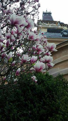 Magnólia-virágzás Szabadkígyóson 2018.04.13. Magnolia, Plants, Magnolias, Planters, Plant, Planting