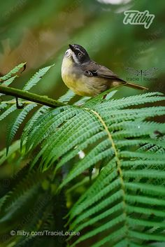 Photograph of white browed scrub wren in the rain-forest  #photo #nature #plant