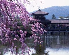 平安神宮 Cherry blossoms SAKURA in Kyoto JAPAN