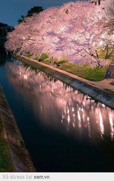 Nadire Atas on Cherry Blossom Trees Cherry trees at night in Okazaki Aichi,Japan Beautiful World, Beautiful Places, Beautiful Pictures, Aichi, Blossom Trees, Cherry Tree, Japan Travel, Belle Photo, Beautiful Landscapes