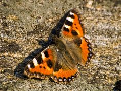 The Small Tortoiseshell Butterfly.