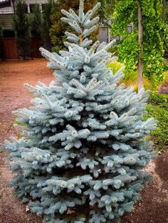 From Alberta to Blue Spruce, The Tree Center has a number of Spruce Trees to choose from. Order Spruce Trees online or over the phone with delivery to your door. Blue Spruce, Spruce Tree, Types Of Evergreen Trees, Privacy Trees, Trees Online, Specimen Trees, Hardy Plants, New Homeowner, Small Trees