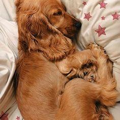 Cocker Dog, Golden Cocker Spaniel Puppies, American Cocker Spaniel, English Cocker Spaniel, Cute Puppies, Cute Dogs, Dogs And Puppies, Cleaning Dogs Ears, Cockerspaniel