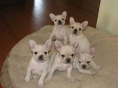 I want all of these french bulldog puppies!