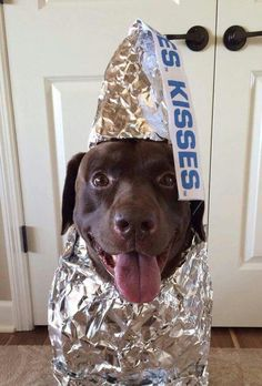 Perfect Halloween costume for a chocolate lab.