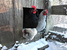 To Heat or not to Heat your Coop this Winter