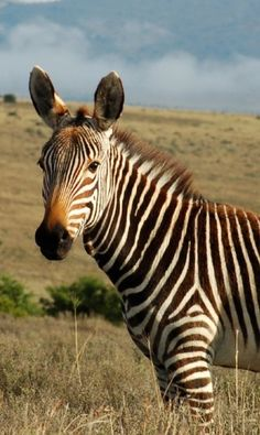 Zebra yearling