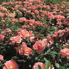 """Jump for Joy™ is blooming like crazy! Plant them alone or with its sister seedling, Sparkle & Shine, and you'll be sure to """"jump for joy"""" when you see the burst of color in your garden. Floribunda Roses, Heirloom Roses, Jumping For Joy, Galveston, Outdoor Living, Garden Design, Floral Wreath, Bloom, Sparkle"""