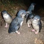 Bicheno Penguin Tours