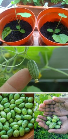 Learn how to grow cucamelon plants. The Cucamelon looks like a cute little watermelon, yet it tastes like a cucumber and lime had a baby!
