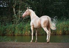 Akhal Teke.....love the shimmering palomino color