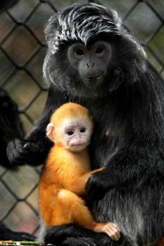 "Howletts Wild Animal Park has officially welcomed a bright new addition to their Javan Langur Monkey group. These are the first pictures of the adorable apricot infant, born last month and named Malang. Head Primate Keeper Matt Ford said: ""Malang. Primates, Mammals, Vida Animal, Mundo Animal, Animals And Pets, Baby Animals, Cute Animals, Beautiful Creatures, Animals Beautiful"
