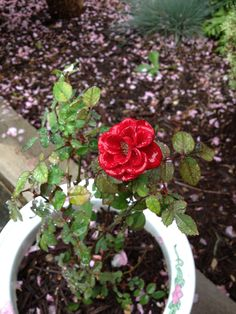 Rose after the rain.