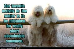 my dream dog, old english sheep dog named Dumbledore. Funny Dog Pictures, Puppy Pictures, Animal Pictures, Cute Pictures, Silly Dogs, Funny Dogs, Cute Dogs, Funny Animals, Pets Movie