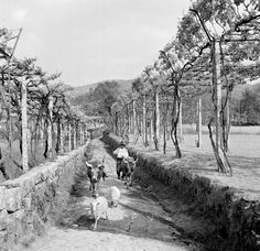 Artur Pastor - Minho, paisagem com vinha. Década de 50/60. Portugal, Old Photos, Vintage Photos, Sheep Breeds, Photo B, Azores, My Heritage, Vintage Photography, Lisbon