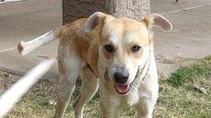Meet Spencer, a Petfinder adoptable Australian Cattle Dog (Blue Heeler) Dog | Gilbert, AZ | Hello friends,I am Spencer! I am a handsome 2-year-old Australian Cattle dog/Lab mix.I was rescued...