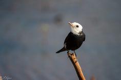 Você salvou em Pássaros e aves do ms. FREIRINHA. A freirinha (Arundinicola leucocephala) é uma ave passeriforme da família Tyrannidae. É a única espécie do gênero Arundinicola. Conhecida também como lavadeira-de-cabeça-branca, lavadeira-de-nossa-senhora, maria-velhinha, viuvinha, viuvinha-do-brejo, cabeça-de-louça e cabeça-de-vô. Nome Científico Seu nome científico significa: do (latim) arundo, arundinis = junco, cana; e cola, colere = morador, habitante, aquele que habita; e do (grego)…