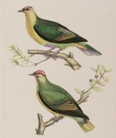 Ptilinopus mercierii - extinct 1922