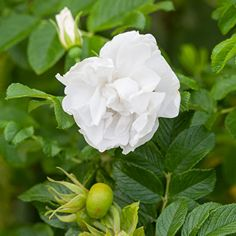 Buy Rosa 'Blanche Double de Coubert' from Sarah Raven: An extremely popular shrub rose, loved for its pure white, semi-double blooms. It flowers early & repeats through the season. Rose Hedge, Pruning Roses, Best Roses, Plant Delivery, Rose Varieties, Shrub Roses, Spring Plants, Hybrid Tea Roses, Types Of Soil