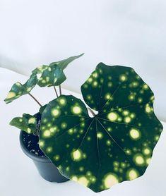 #Farfugium #japonicum Farfugium japonicum Farfugium japonicum   - zimmerpflanzen