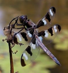 **dragonflies   ...........click here to find out more     http://googydog.com
