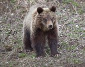 Grizzly Bear Cub, Wildlife Photography, Fine Art, Wall Art, Nature Photography, Animal Photography, Rob's Wildlife, Epic Wildlife Adventures