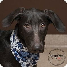 I am at a kill shelter in Troy, OH - Great Dane Mix. Meet Tonka, a dog for adoption. http://www.adoptapet.com/pet/14627295-troy-ohio-great-dane-mix