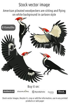 American pileated woodpeckers are sitting and flying on white background in cartoon style. Stock vector image #stock #vector #woodpecker #bird #american #flying