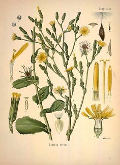 Lactuca virosa L.,  Wild  lettuce - Medicinal Botanical Plants