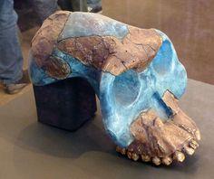 Addis Abeba, Musée national d'Ethiopie : crâne reconstitué d'Australopithecus garhi à partir d'éléments trouvés en 1997 (Awash, région Afar). 2,5 millions d'années. BOU-VP 12/130. (1)
