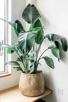 The Bird of Paradise is a well known indoor plant for it's ease of care and beautiful tropical foliage. They can tolerate a range of lighting but thrive in bright, indirect light. Let soil dry out slightly between watering. Live plants available for Store Pickup or Local Delivery only. Pots sold separately. Shop our Pots + Planters collection here! Birds Of Paradise Plant, Paradise Garden, House Plants Decor, Tropical House Plants, Indoor Plant Decor, Big Indoor Plants, Decoration Plante, Large Plants, Green Plants