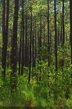 Pins des Landes  - Les sous-bois de la forêt landaise. [Paysage d'Aquitaine] .