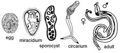 human host digenea | Lifecycle stages of a digenean human parasite, Schistosoma japonicum .
