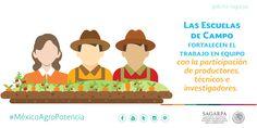Las Escuelas de Campo fortalecen el trabajo en equipo con la participación de productores, técnicos e investigadores. SAGARPA SAGARPAMX #MéxicoAgroPotencia