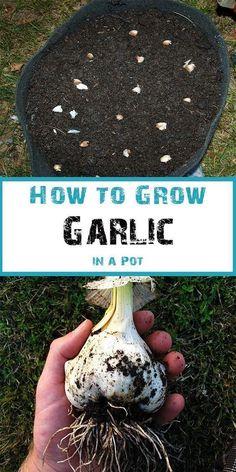 How to grow garlic from a clove #Organic Gardening