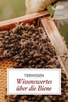 Sie sind fleißig und die ältesten Süßstofflieferanten des Menschen. Mehr nützliches Bienenwissen können Sie hier nachlesen. #biene #tierwissen