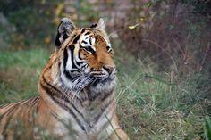 Ohio Rescue Video Tigers In America Tiger Big Cat Rescue Rescue