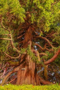 Coastal Redwood Tree, Giant Sequoia in Victoria B. Canada (Sequoiadendron giganteum) Coastal Redwood Tree, Giant Sequoia in Victoria B. Giant Tree, Big Tree, Sequoiadendron Giganteum, Weird Trees, Unique Trees, Old Trees, Nature Tree, Tree Forest, Plantation