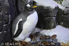 "Pinguin-Baby ""Knöpfle"" im SEA LIFE Konstanz 