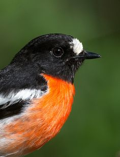 The Scarlet Robin (Petroica boodang) is a common red-breasted Australasian robin in the passerine bird genus Petroica. The species is found on continental Australia and its offshore islands, including Tasmania.