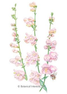 Palmer's Penstemon -- Perennial. Unlike most other penstemons, the lovely pink flowers of this native perennial have a wonderful fragrance that might remind you of roses or honeysuckle. Soaring stems up to 5 feet tall emerge in early summer with a show of tubular flowers that attract hummingbirds, butterflies and bees. Ideal for sandy or gravelly soils with good drainage. Established plants require little watering.