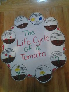 the life cycle of a tomato
