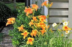 Daylily | Drought Resistant Plants