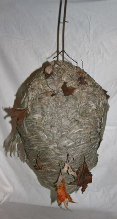 "LARGE PAPER WASP HORNETS NEST HIVE 21"" HIGH x 12"" ACROSS TAXIDERMY WALL DECOR"